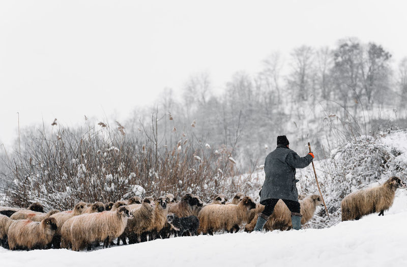 Rear view of sheep on snow covered land