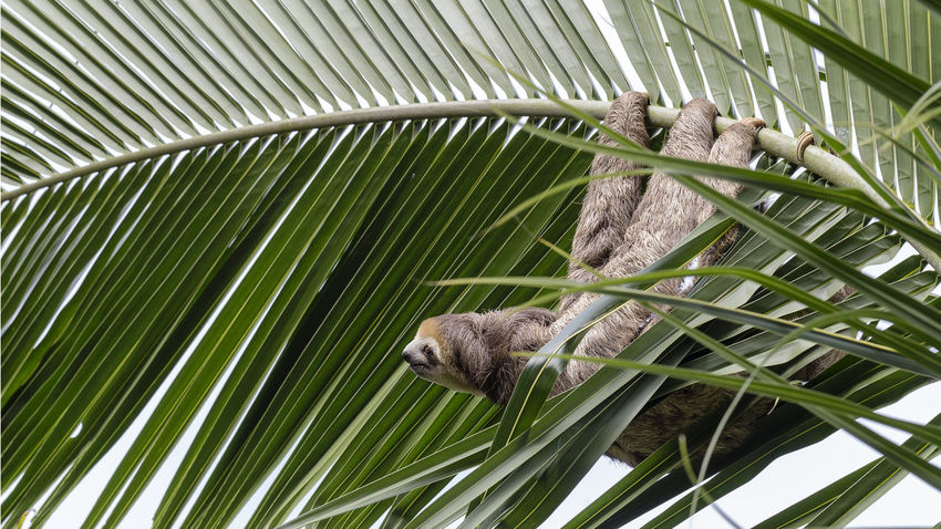 paresseux sur palmier Ai Palm Leaf Animal Animal Wildlife Animals In The Wild Branch Close-up Green Color Monkey No People Outdoors Paresseux