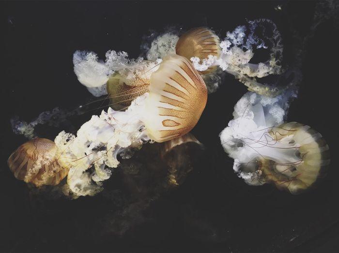 Underwater Sea Life Jellyfish UnderSea Water Animals In The Wild Swimming Animal Themes Animal Wildlife Black Background Close-up One Animal Studio Shot Coral No People Indoors  Aquarium Floating In Water Nature Sea Anemone Ocean VSCO Vscocam Japan Nikon
