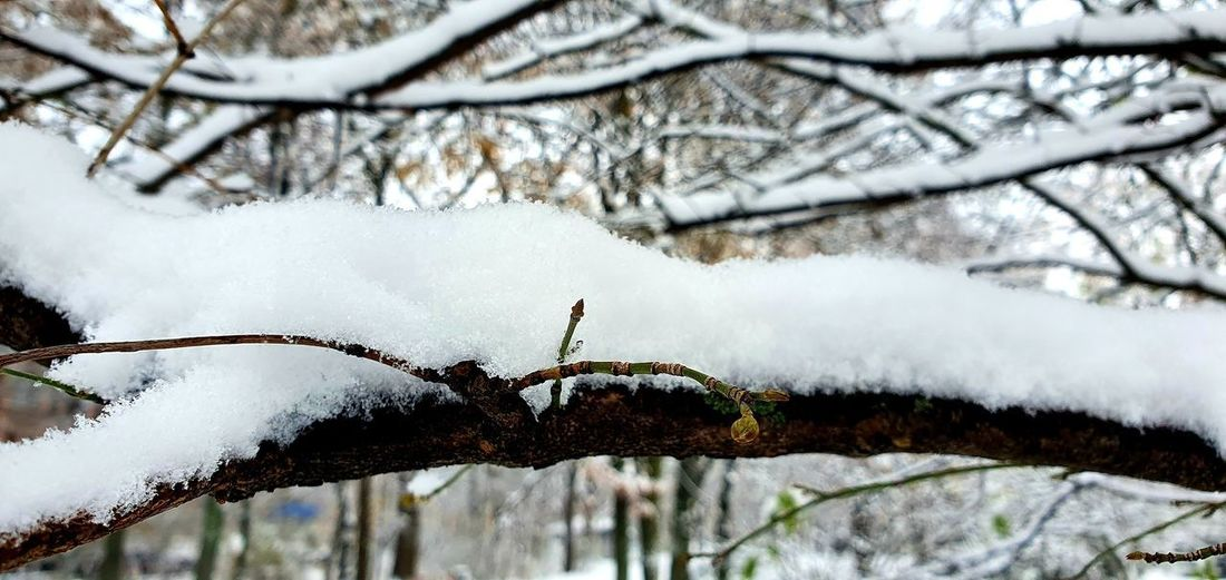 Close-up of snow covered branches