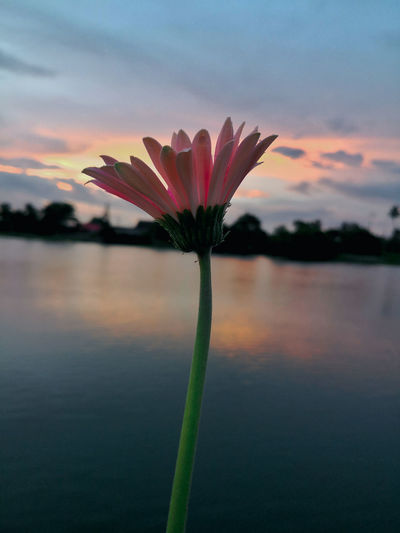 Close-up of pink flowering plant against lake during sunset