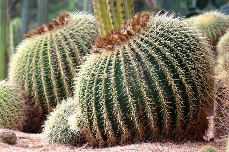 Close-up of cactus on field