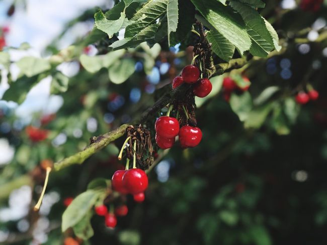 Fruit Healthy Eating Food Berry Fruit Red Food And Drink Plant Day Nature Wellbeing No People Focus On Foreground Close-up Tree Beauty In Nature Green Color Growth Freshness Plant Part Leaf The Still Life Photographer - 2018 EyeEm Awards