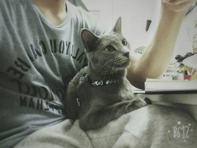 My favorite cat Blueberry~!:) Playing on my lap~ :) sooooooo cute! ^^ Cat♡ Rusianbluecat EyeEm Cats