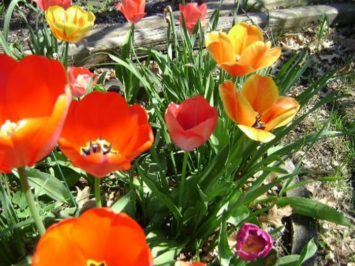Spring tulip Tulips Floral Flowers Red Yellow Green