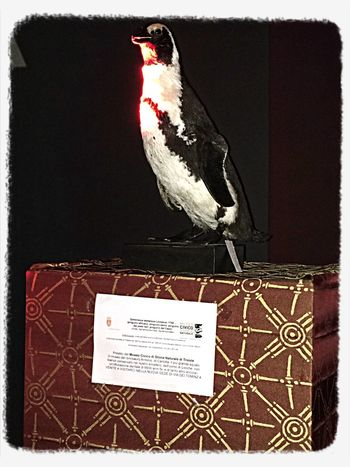 Un pinguino a Salotto.Vienna Comune Di Trieste