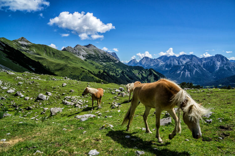 Haflinger in the mountains Mammal Mountain Animal Animal Themes Domestic Animals Livestock Sky Cloud - Sky Domestic Vertebrate Field Land Beauty In Nature Grass Pets Grazing Plant Nature No People Landscape Mountain Range Herbivorous Outdoors Snowcapped Mountain Avelignese Tyrol Austria