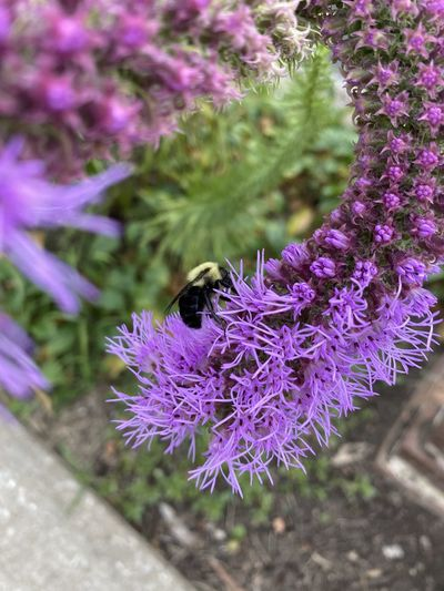 High angle view of bumblebee on lavender
