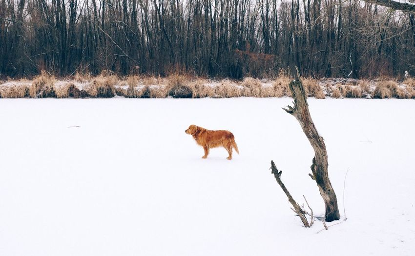 Winter Mammal Domestic Animals Cold Temperature Animal Themes Snow Weather Field Bare Tree One Animal Nature Pets Dog No People Day Outdoors Tree Vscocam Golden Retriever Fujifilm_xseries Shades Of Winter