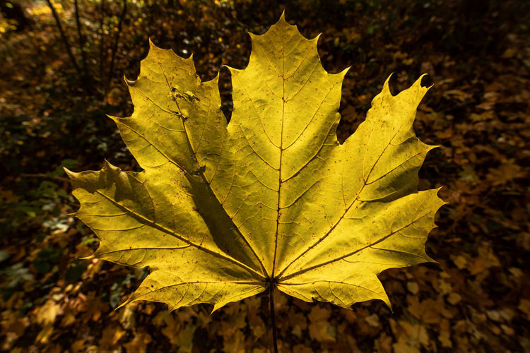 Plant Part Leaf Autumn Change Close-up Leaf Vein Nature Focus On Foreground No People Maple Leaf Plant Day Yellow Outdoors Dry Beauty In Nature Leaves Fragility Vulnerability  Natural Pattern Natural Condition