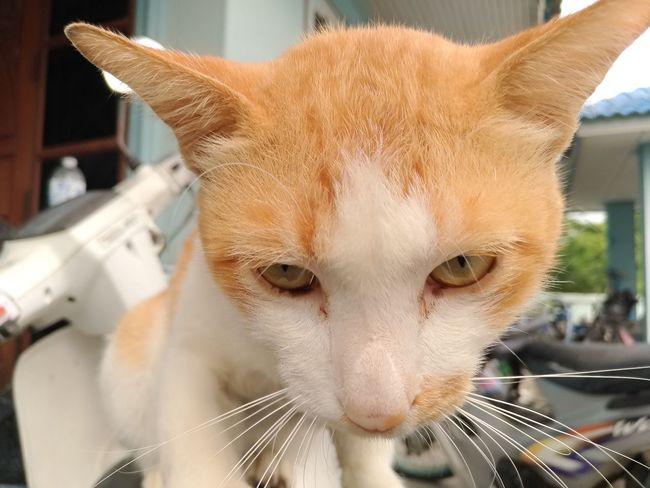 See me 🐈🐈 EyeEm Selects Pets Oil Pump Portrait Domestic Cat Close-up Whisker Yellow Eyes Maine Coon Cat Stray Animal Ginger Cat Tortoiseshell Cat Carnivora Feline Nose Cat Ear Kitten Animal Eye HEAD Tabby Cat