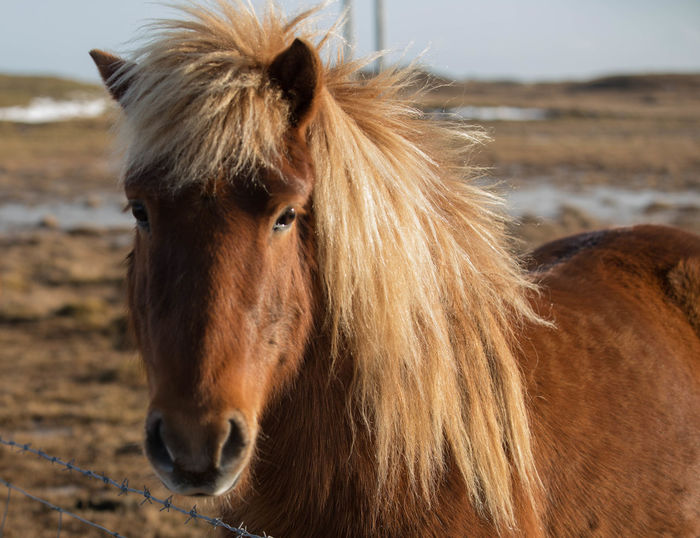 Animal Hair Animal Themes Brown Close-up Day Horse Icelandic Horse Livestock Mane Nature No People One Animal Outdoors