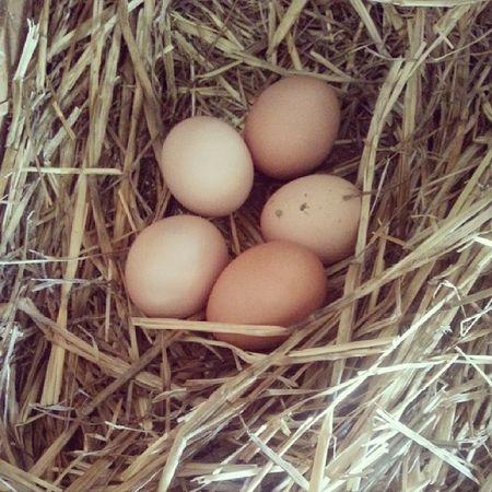 Five eggs today... Love my chookys Fresh Eggs Chooks Chickens farmlife rural ruralliving