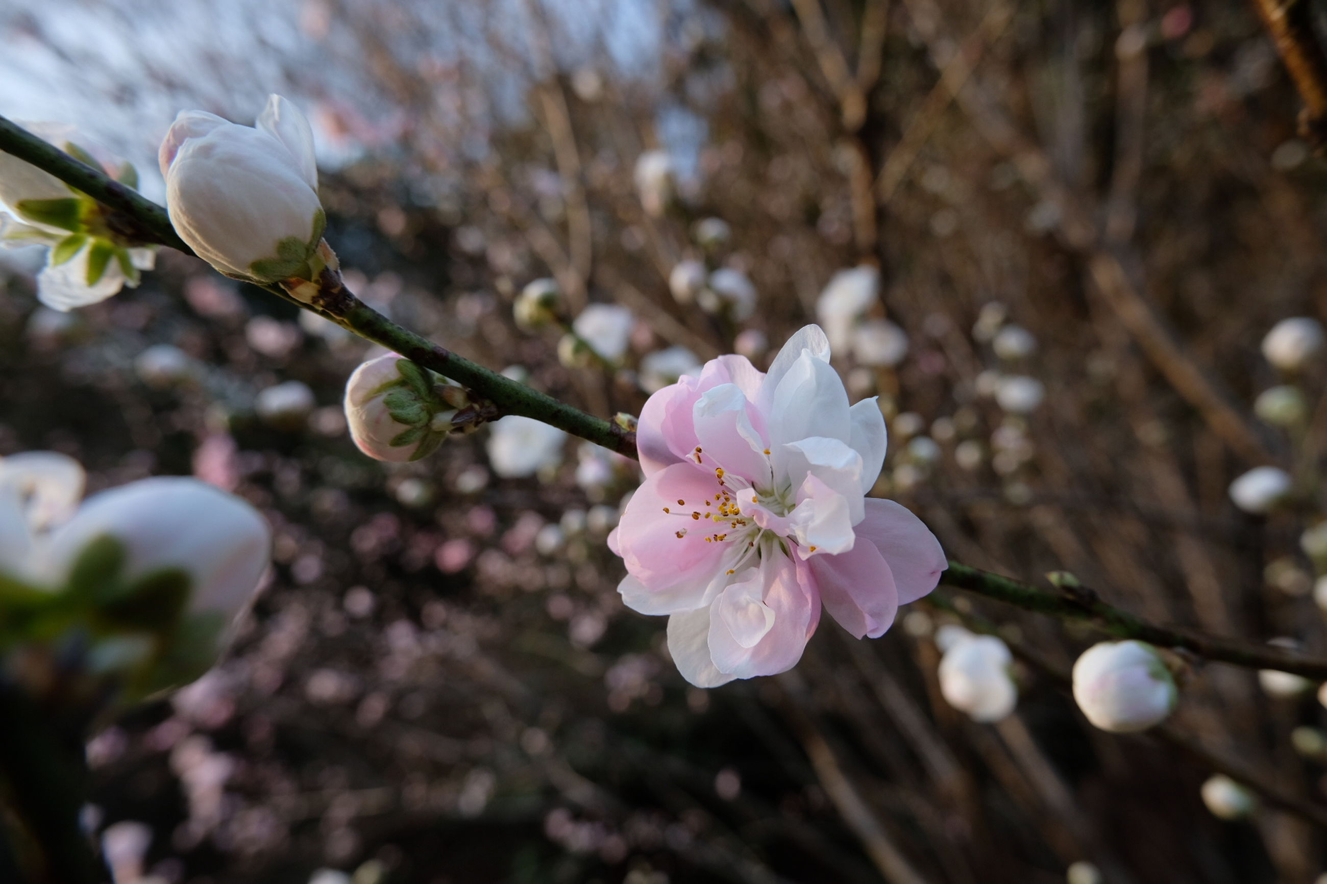 flower, flowering plant, plant, fragility, vulnerability, beauty in nature, growth, freshness, petal, tree, close-up, blossom, nature, flower head, inflorescence, springtime, branch, day, focus on foreground, no people, pink color, cherry blossom, outdoors, pollen, cherry tree, spring