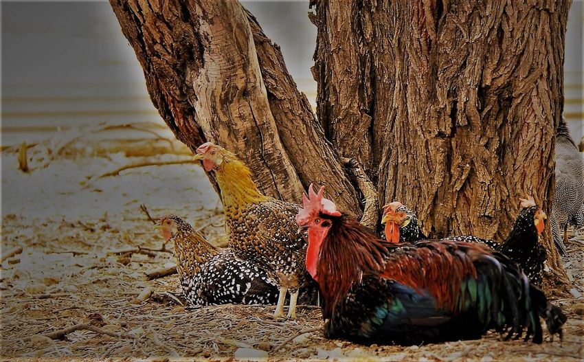 Chook Pen Animal Behaviour Bird Agriculture Feathers Of A Bird Domestic Animals Rooster Ancona Farm Avian Pets Chickens Animal Themes Chooks hens