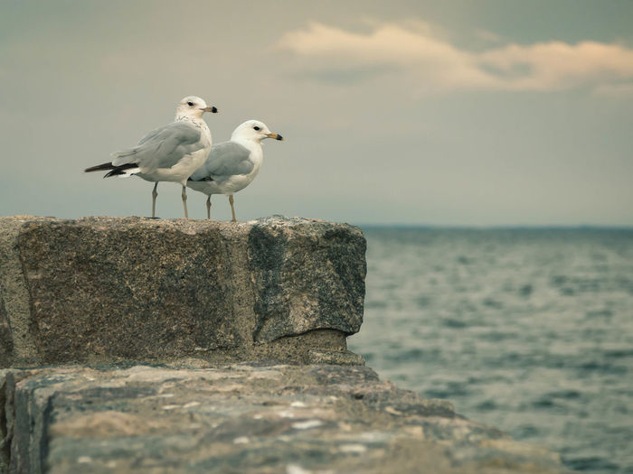 Gulls at Lake Mille Lacs in central Minnesota. Beauty In Nature Bird Cloud Cloud - Sky Day Focus On Foreground Horizon Over Water Idyllic Nature No People Non-urban Scene Ocean Outdoors Rippled Rock Rock - Object Scenics Sea Seagull Sky Tranquil Scene Tranquility Water Wildlife Wooden Post