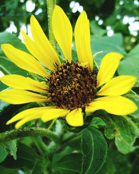 Flower Petal Yellow Plant Nature Flower Head Beauty In Nature Day Close-up No People Sunflower