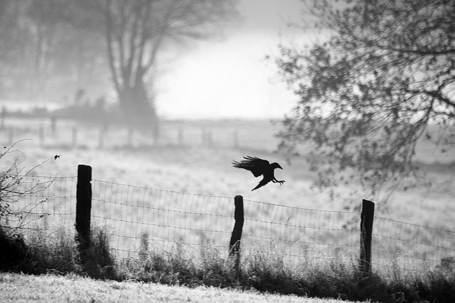 France Nicolasdurupt Franchecomte Franche-comté Forêt Wood Foret Eagle Eagle - Bird Crow Corbeau Frederic Fontaine