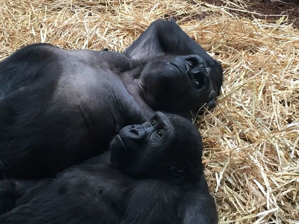 Happy Family II Animal Animal Body Part Animal Head  Animal Themes Black Color Close-up Day Field Focus On Foreground Gorilla Gorillas Grass Lying Down Mammal Nature No People Outdoors Relaxation Resting