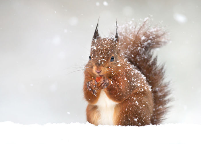 Portrait of squirrel on snow covered land