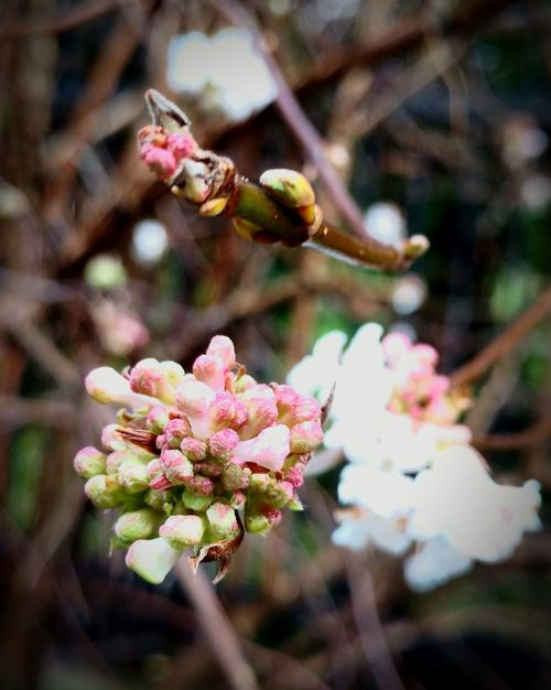 Viburnum bodnantense 'Down' First Eyeem Photo Viburnum Bodnantense 'Down' EyeEm Nature Lover Beauty Of Nature No Snow In Winter Winter Flowers Garden