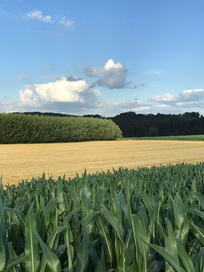 Fields under Blue sky in Germany Himmel Bayern Germany Landwirtschaft Felder Im Sommer Sky Agriculture Landscape Field Land Plant Growth Rural Scene Farm Cultivated Land Scenics - Nature Environment