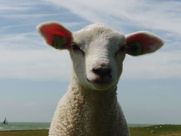 Lamb Sheep Dike Ijsselmeer Hindeloopen