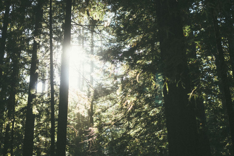 sunlight between the redwood trees Northern California Tree Forest Plant Land WoodLand Nature Beauty In Nature Low Angle View Tranquility Tree Trunk Trunk Day Sunlight Scenics - Nature Tranquil Scene Growth No People Non-urban Scene Outdoors Environment Streaming Rainforest Tree Canopy  Redwood Forest