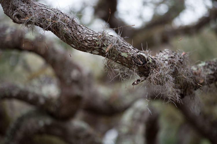 Beauty In Nature Branch Close-up Day Depth Of Field Fragility Live Oak Moss Nature No People Outdoors Spanish Moss Tree