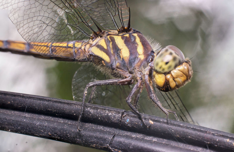 Seaside Dragonlet Dragonfly (Odonata: Libellulidae: Erythrodiplax berenice) descend and stay still on a twig diagonally isolated with busy, soft and greenish background Diagonal Dragon Libellulidae Macro Photography Stil Animal Animal Wing Arthropod Berenice Close Up Close-up Day Descend Dragonfly Erythrodiplax Focus On Foreground Insect Invertebrate Macro Magnify Odonata Seaside Stay Twig Zoom