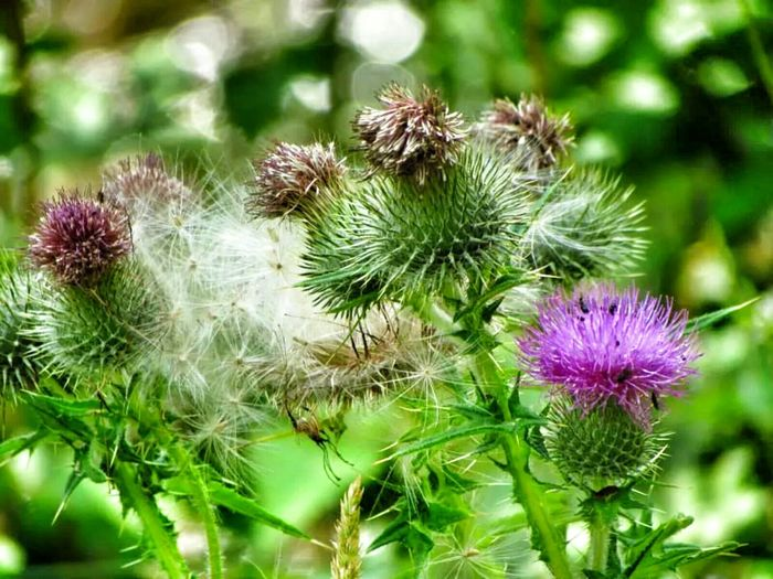 Thistle And Weeds Thistles Cotton Or Thistle?
