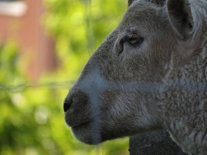 Sheep Close-up Animal Body Part HEAD Animal Eye My Best Photo