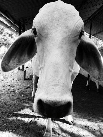 Bovinos One Animal Animal Close-up Animal Themes Mammal No People Livestock Outdoors Day Nature
