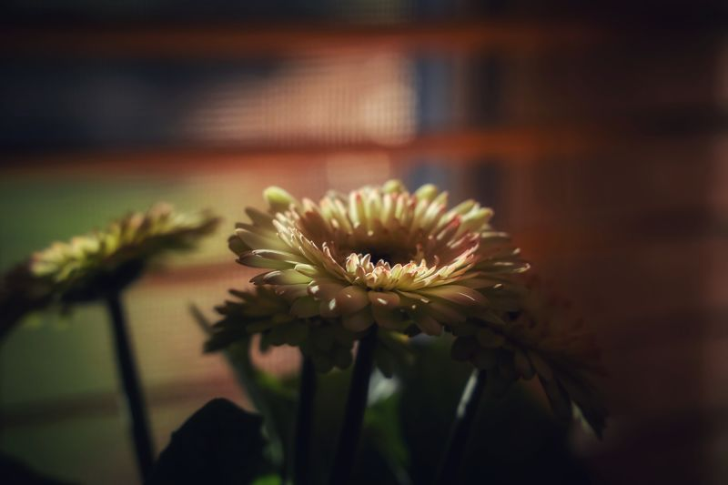 Gerbera Flowering Plant Flower Plant Fragility Freshness Vulnerability  Growth Beauty In Nature Close-up Focus On Foreground Nature No People Petal Flower Head Selective Focus Day