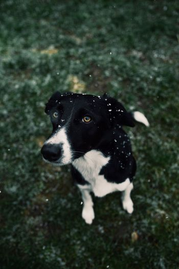 Snow White 🌨 Dog Collie Border Collie Collies Pup Puppy Cute Beautiful Snow Snowwy Snowing Weather Mood Moody Nature Nikon D3200 Nikon D3200 Pet Sigma Sigma Art Sigma 18-35 F1.8 Pet Portraits
