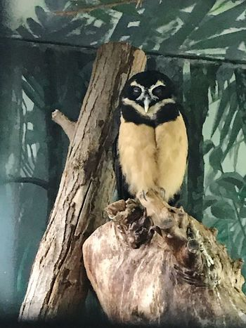 Zoo / Indoor Photography series: Spectacle Owl - Let's me take my siesta Indoor Photography Bird Photography Zoo Birds Zoo Photography  Bird In Captivity Animal No People Vertebrate Animal Themes Bird Close-up One Animal Indoors  Young Bird Day Wall - Building Feature Pattern Tree