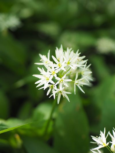 Ramsons, flowering in Fredriksdal museum and gardens in Helsingborg in May 2019. Flower Head Flower Flowering Plant Plant Vulnerability  Fragility Beauty In Nature Growth Freshness Close-up White Color Petal Focus On Foreground Inflorescence Day No People Nature Green Color Selective Focus Plant Part Outdoors Bärlauch  Ramslök Ramsons Wood Garlic Fredriksdal Friluftsmuseum Bear's Garlic Few-flowered Garlic Few-flowered Leek