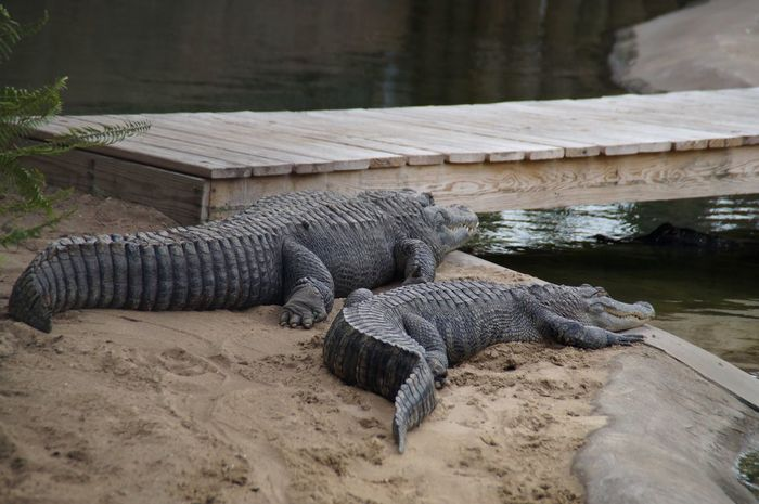 Two Is Better Than One two gators to look at are better than one! These are gators at Bass Pro Shop Gators Gator Alligator Animals Florida