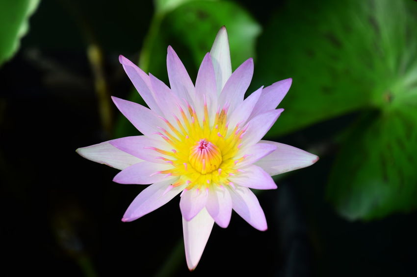 Close up of waterlily. Flower Head Flower Petal Pink Color Black Background Close-up Plant Water Lily Lotus Water Lily In Bloom