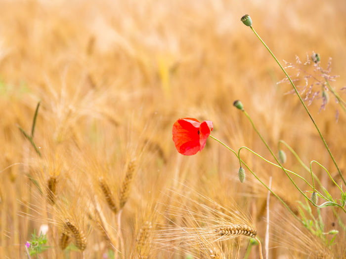 Agriculture Beauty In Nature Cereal Plant Close-up Crop  Day Field Flower Flower Head Flowering Plant Focus On Foreground Fragility Freshness Grainfield Growth Land Nature No People Outdoors Plant Poppy Red Selective Focus Summer Vulnerability