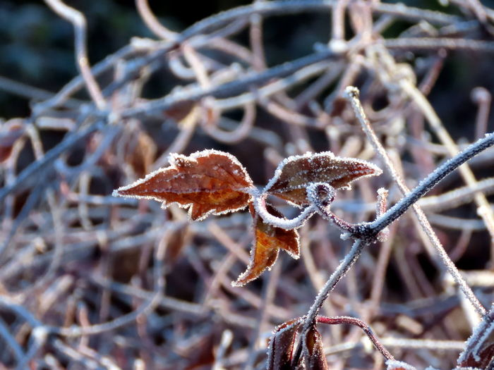 Close-up of dry leaves on frozen plant