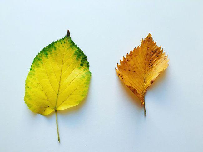 Autumn Leaf Leaves White Background Fall Fall Leaves Washington, D. C.
