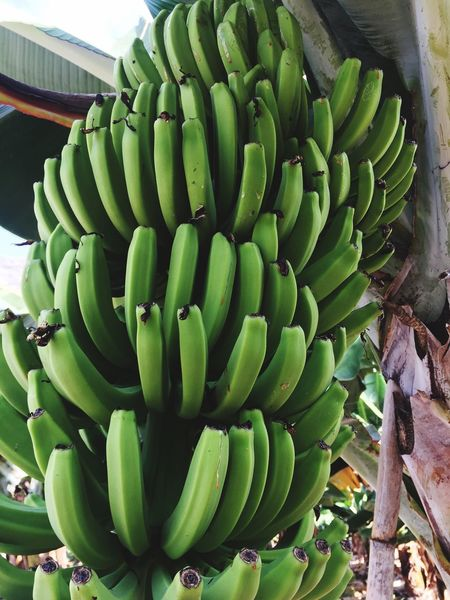 La Gomera Green Color Growth Food Banana Tree Banana Leaf Outdoors Freshness Close-up Nature Day No People LaGomera Canary Islands Placetovisit Travel Destinations Beauty In Nature