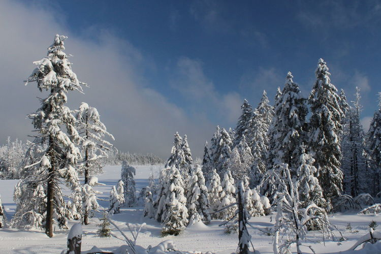 winter impressions of Nationalpark Harz Cold Temperature Snow Winter Harz Brocken Trees Barks Of A Tree Scenics - Nature Tranquil Scene Plant Sky Beauty In Nature Landscape Tranquility Cloud - Sky Environment Forest Panoramic Frozen Pine Tree No People Evergreen Tree Coniferous Tree Outdoors WoodLand