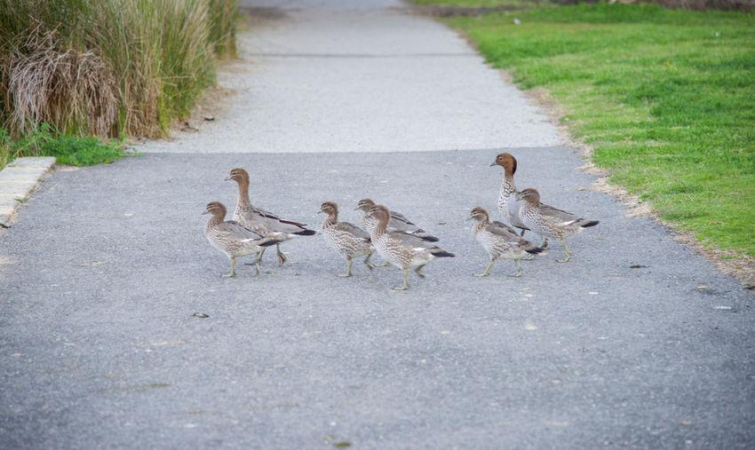 Ducks on road