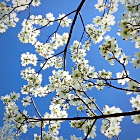 Branch Nature Tree Springtime Growth Beauty In Nature White Color Flower Fragility Low Angle View Twig Blossom Freshness Blue No People Close-up Day Sky Outdoors Backgrounds