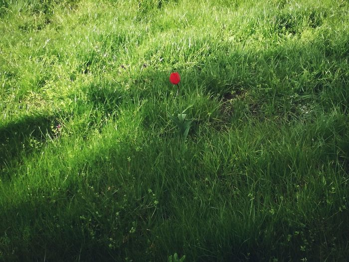 Alone🌷Love in us 🌷Alone Green Color Sunlight Beauty In Nature Tulip Red Tulip Deep Feeling Beautiful Love In Us Lonely Lonely Flower Emotion Simple Beauty This Moment Abandon Silence Of Nature Art Is Everywhere Not Forgotten Meadow Meadow Flowers