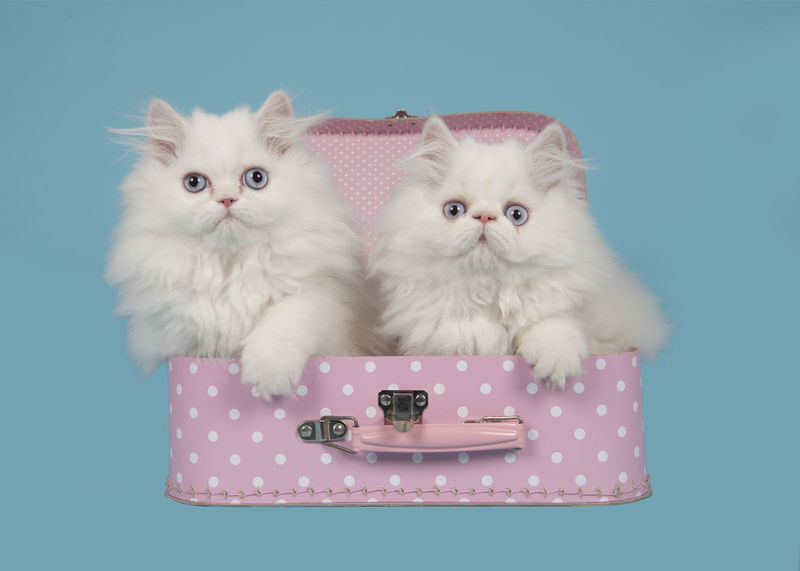 Two white persian longhair kittens with blue eyes in a pink suitcase on a blue background Animal Themes Blue Background Cat Colored Background Cute Cats Cute Kittens Feline Looking At Camera Persian Kitten Pets Purebred Cat Studio Shot Suitcase Whisker Young Animal