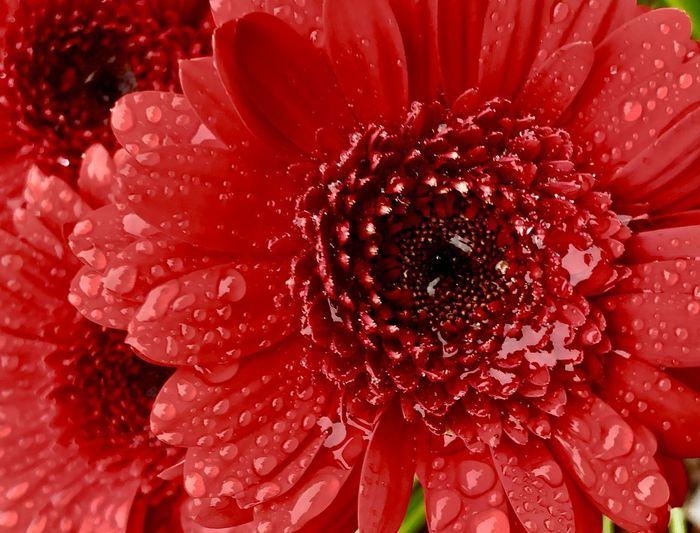 Full frame shot of wet red daisy flower
