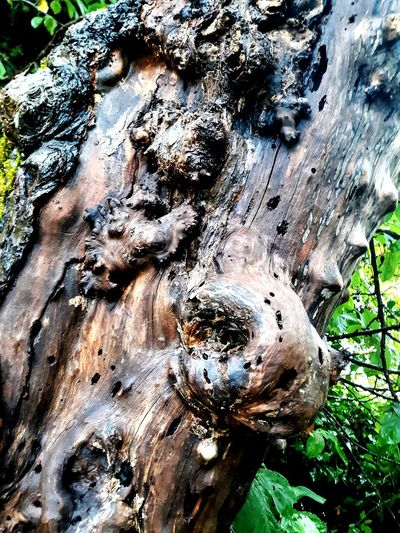 50 year old apple tree,still bares apples Bark Tree Trunk Moss Rough Growing Rugged